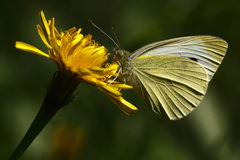 Small white butterfly royalty free stock image