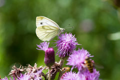 Small White Butterfly. On a flower Royalty Free Stock Photos