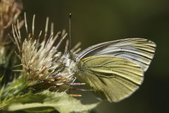 Small white butterfly Royalty Free Stock Photo