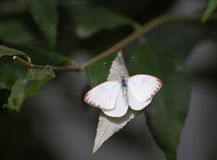 Small White Butterfly with brown edged wings Royalty Free Stock Image