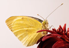 Small White butterfly close-up Royalty Free Stock Photo