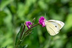 Small White Butterfly Close Up. A close up of small white butterfly resting on flower Stock Photography