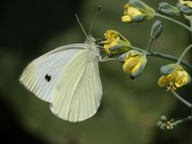 Small white butterfly on flowering broccoli stock photography