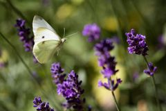 Small White Butterfly Flying in a Lavender Field royalty free stock photography
