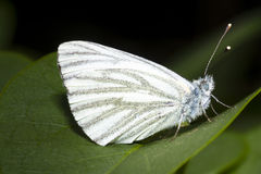 Small white butterfly on a leaf Stock Photography