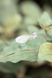 Small white butterfly on leaf. Royalty Free Stock Images