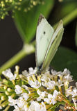 A Small White butterfly perched on a white flower Royalty Free Stock Photo