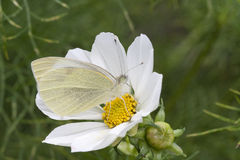 Small White Butterfly (Pieris rapae) on Cosmos Royalty Free Stock Images