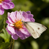 Small White Butterfly Royalty Free Stock Photography