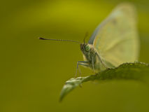 Small White Butterfly (Pieris rapae) on leaf Royalty Free Stock Photos