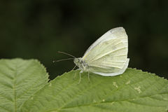 Small white butterfly, Pieris rapae Stock Image