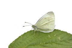 Small white butterfly, Pieris rapae Royalty Free Stock Photo