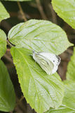 Small White Butterfly  (Pieris rapae) Royalty Free Stock Photo