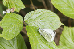 Small White Butterfly  (Pieris rapae) Stock Photography