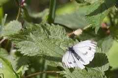 Small White Butterfly  (Pieris rapae) Royalty Free Stock Image