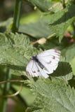 Small White Butterfly  (Pieris rapae) Stock Photos