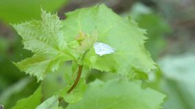 Small white butterfly resting on a green leaf. Close up of small white butterfly resting on a green plant leaf while wind gently rocks the leaf back and forth stock video footage
