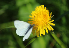 The Small White butterfly Royalty Free Stock Photo