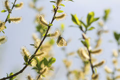 A small white butterfly sitting on a yellow furry buds of the pu Stock Photography