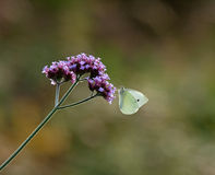 Small White butterfly on Verbena Bonariensis Royalty Free Stock Photos