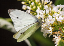 A Small White butterfly on a white flower Stock Photos