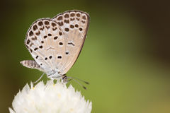 Small White Butterfly on White Flower. A macro shot of a white Pale Grass Blue butterfly on a white globe amaranth flower royalty free stock images