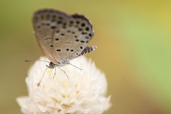 Small White Butterfly on White Flower. A macro shot of a white Pale Grass Blue butterfly on a white globe amaranth flower royalty free stock image