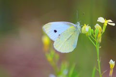 Small White butterfly (Pieris Rapae) Stock Photo