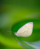 Small White butterfly (Pieris Rapae) Stock Image