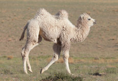 Small white camel Royalty Free Stock Images