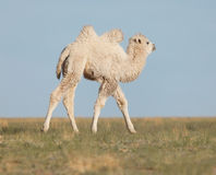 Small white camel Stock Images