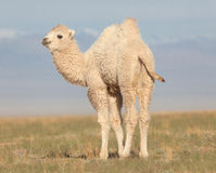 Small white camel Royalty Free Stock Photo