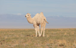 Small white camel Stock Photography