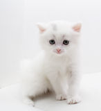 Small white cat royalty free stock photography