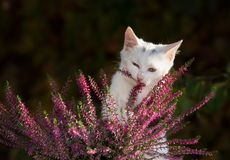 Small white cat playing with flower Royalty Free Stock Images