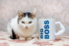 Small white cat sits next to a mug with the inscription  big bos royalty free stock images