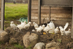 Small white chickens in cage Stock Photo