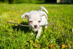 Small white chihuahua puppy on a lawn Royalty Free Stock Photos