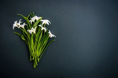 Free Small White Chionodoxa Flowers On Dark Green Background Stock Images - 148305174