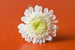 Small white chrysanthemum Royalty Free Stock Image