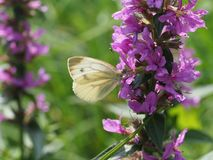 A Small White collects nectar from a purple flower royalty free stock photography