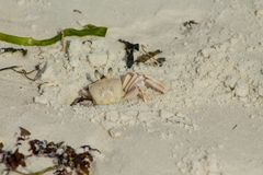 Small white crab on sand beach in a burrow Royalty Free Stock Photography