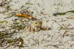 Small white crab on sand beach burrow Royalty Free Stock Images