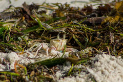 Smal crab on seaweed. Small white crab on sand beach in the green seaweed Royalty Free Stock Photo