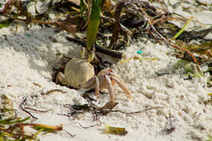 Small white crab on sand beach Stock Photography
