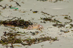 Small white crab on sand beach Stock Images