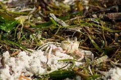 Small white crab Stock Photos