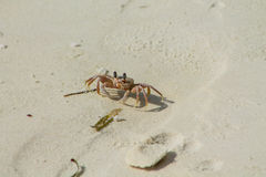 Small white crab Royalty Free Stock Photography