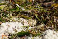 Small white crab on sand beach seaweed Royalty Free Stock Photography