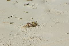Small white crab on sand beach Stock Image